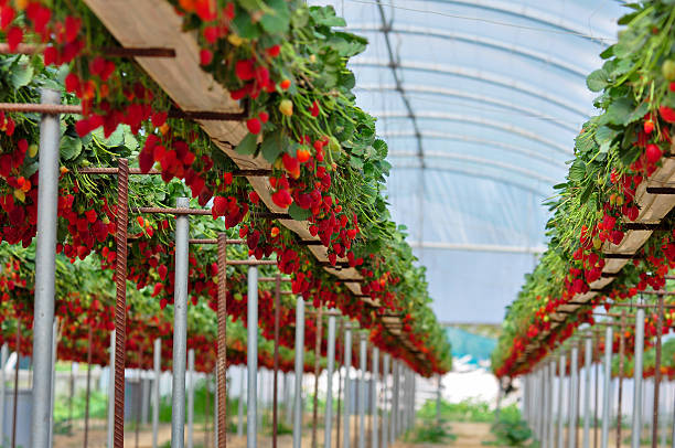 A greenhouse with rows of elevated strawberry plants Strawberry fields in Cyprus  strawberry field stock pictures, royalty-free photos & images