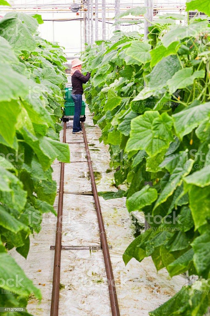 Greenhouse Worker Picking Cucumbers stock photo