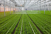 """Plant irrigation in greenhouse, please see also my other images of greenhouses, plants and flowers in my lightbox:"""