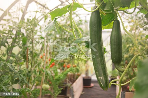 Some cucumbers in a greenhouse
