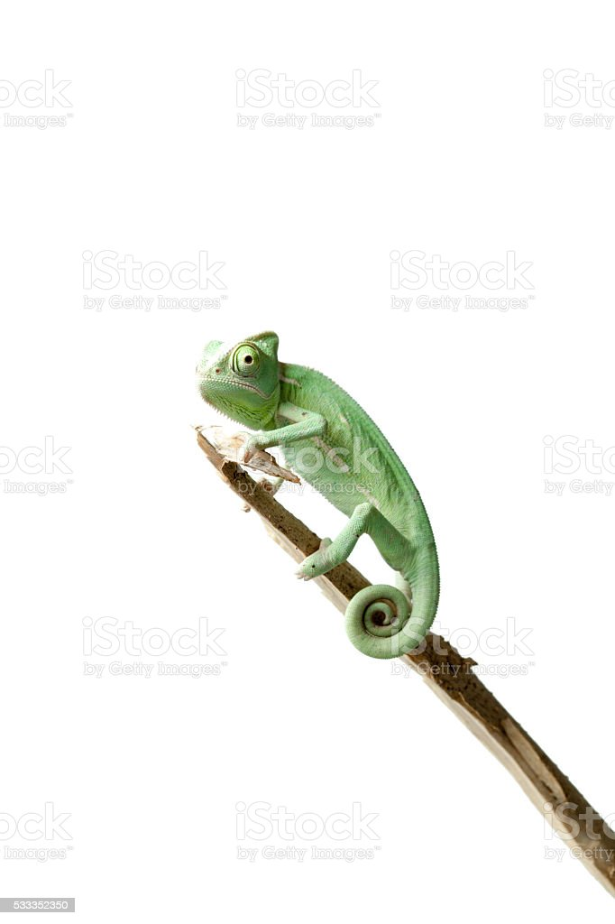 Greenish chameleon on branch isolated on white background stock photo