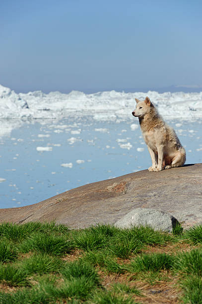 Greenland dog sitting in front of the Illulisat icefjord stock photo