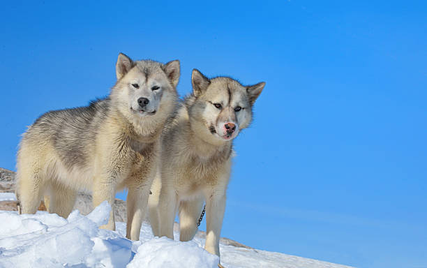 greenland dogs stock photo