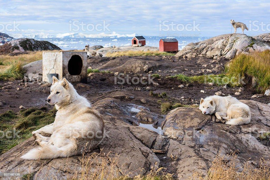 Greenland Dogs, Sled Dogs, Ilulissat stock photo