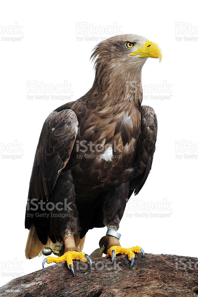 Greenland White-tailed Eagle stock photo