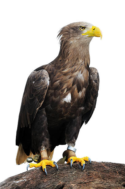 Greenland White-tailed Eagle stock photo
