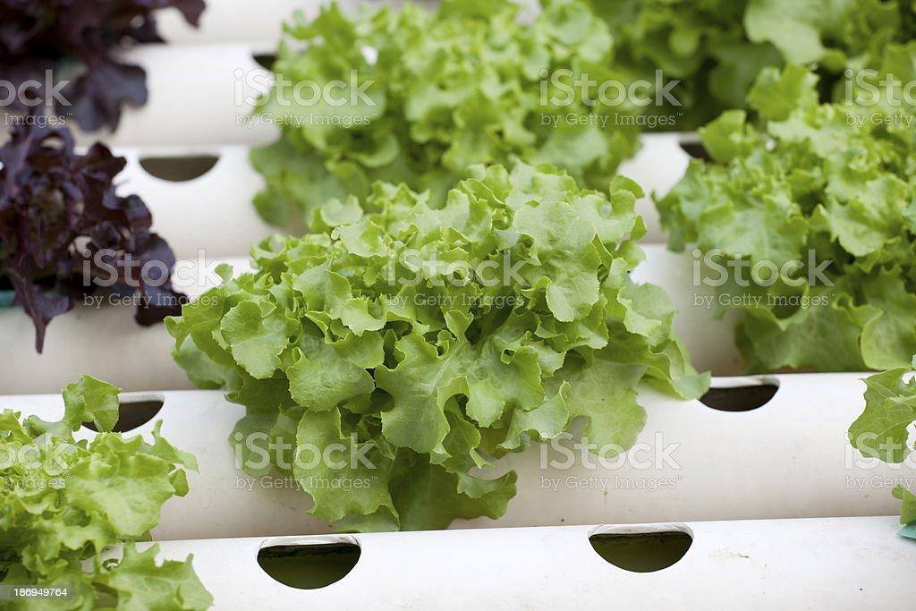 Green-oak in hydroponics farm royalty-free stock photo
