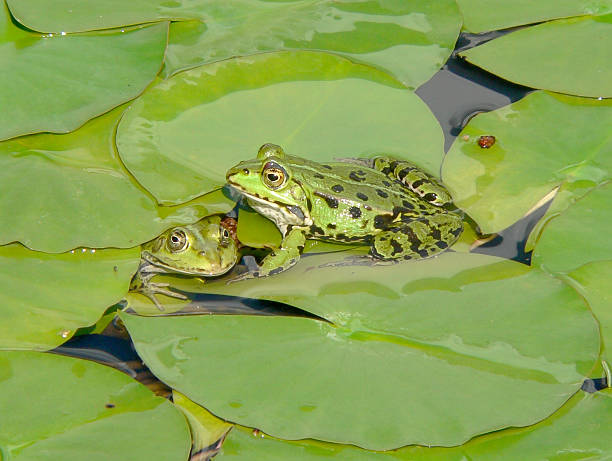 greens on green - croak stock pictures, royalty-free photos & images