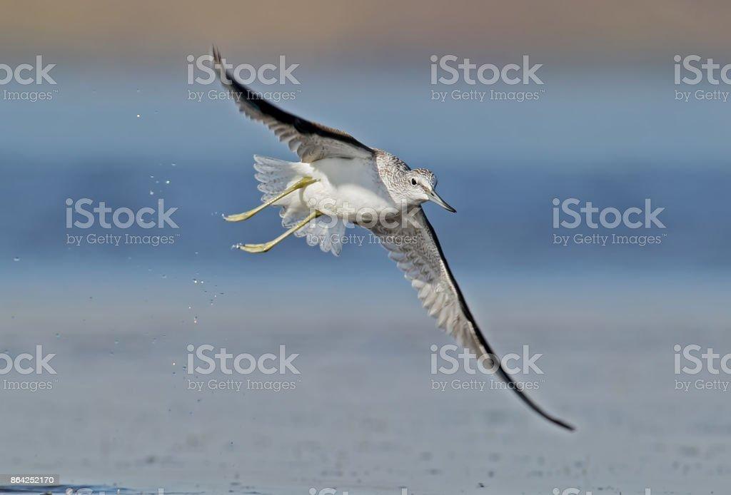 Greenshank in flight close up royalty-free stock photo