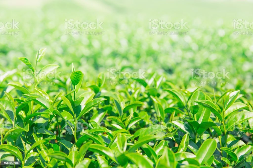 greentea leaves. green tea plant agricuture field for background. stock photo