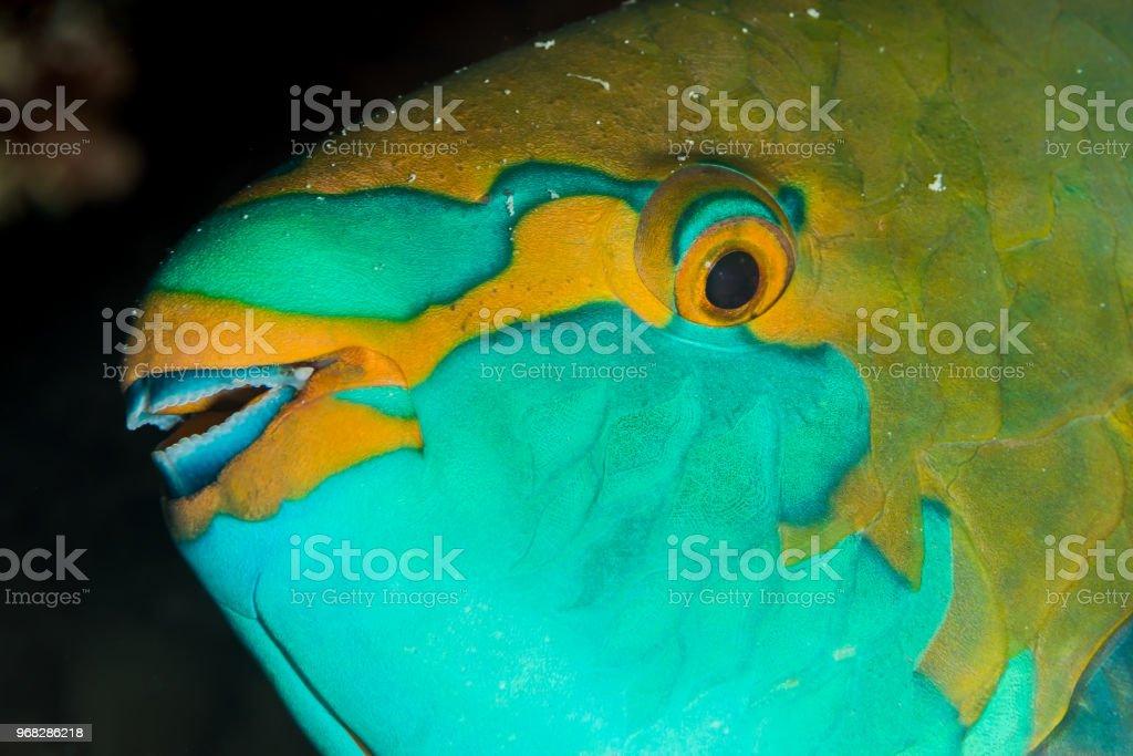greenthroat parrotfish head closeup stock photo
