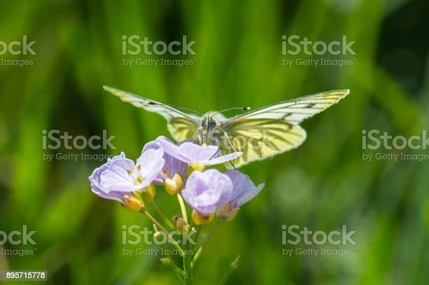 Greenveined white butterfly on a flower picture id895715778?b=1&k=6&m=895715778&s=612x612&h=p grkhho3nlm2  gbvw yxdytbimkxssxxs kdwllx0=