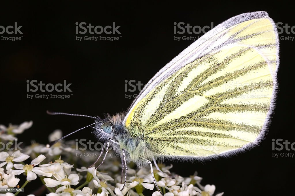 Green-veined white (Pieris napi) feeding on flowers. royalty-free stock photo