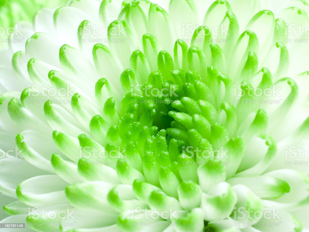 Green-white flowers close-up. royalty-free stock photo