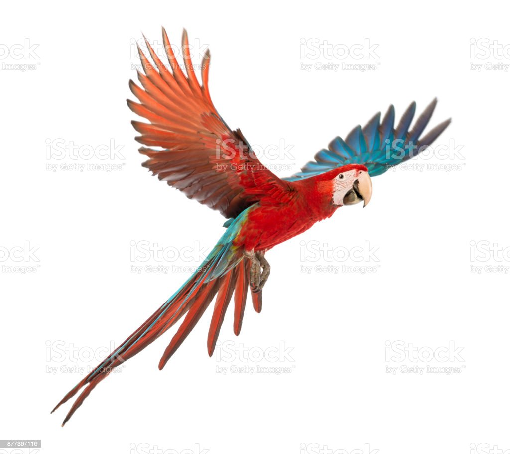 Green-winged Macaw, Ara chloropterus, 1 year old, flying in front of white background - fotografia de stock