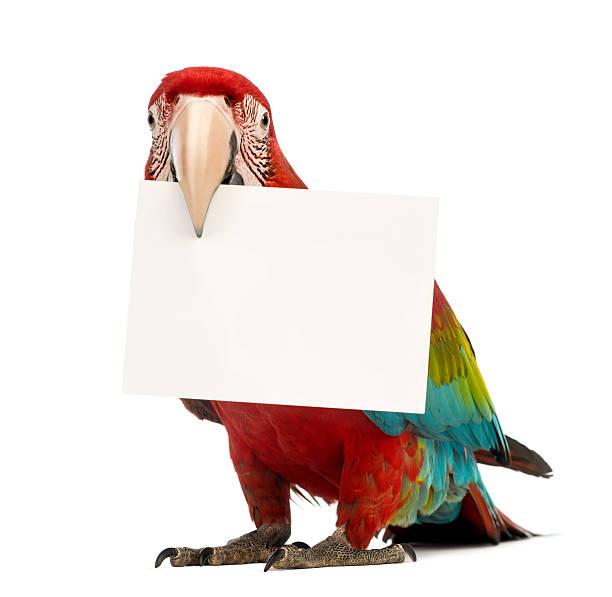 arara vermelha, ara chloropterus, segurando um cartão branco - arara vermelha retrato - fotografias e filmes do acervo