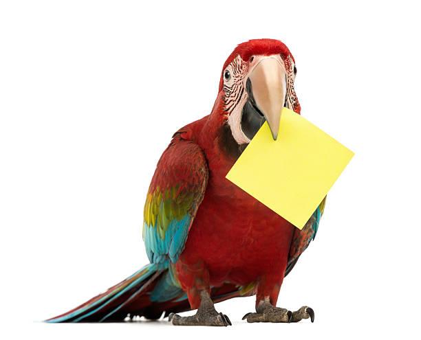 arara vermelha, ara chloropterus, segurando um cartão amarelo - arara vermelha retrato - fotografias e filmes do acervo