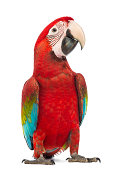 istock Green-winged Macaw, Ara chloropterus, in front of white background 168663169