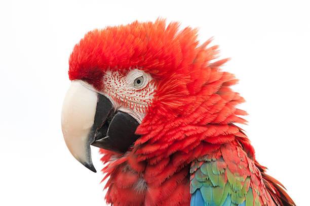 """arara vermelha, ara chloropterus, retrato, close-up, perfil, isolada no branco """" - arara vermelha retrato - fotografias e filmes do acervo"""