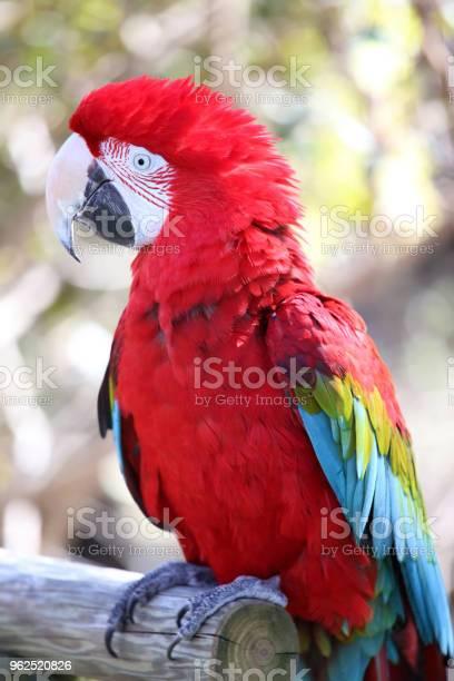 Foto de Araradeasaverde Ara Chloropterus Sentado No Galho e mais fotos de stock de Animal