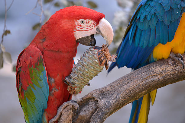 Green-winged macaw eating pine cone - foto de acervo