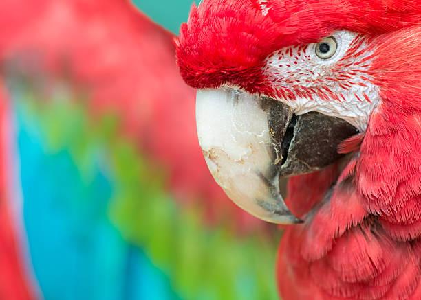 arara vermelha - arara vermelha retrato - fotografias e filmes do acervo