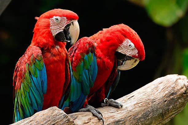 greenwinged arara - arara vermelha retrato - fotografias e filmes do acervo
