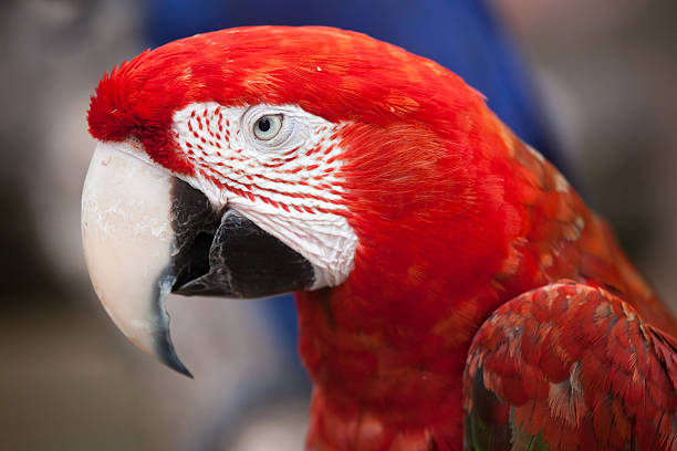 green-winged macaw (ara chloropterus) - arara vermelha retrato - fotografias e filmes do acervo