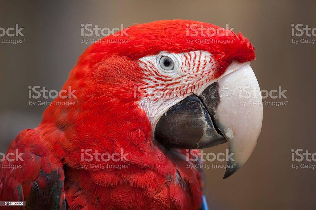 Green-winged macaw (Ara chloropterus) - foto de acervo