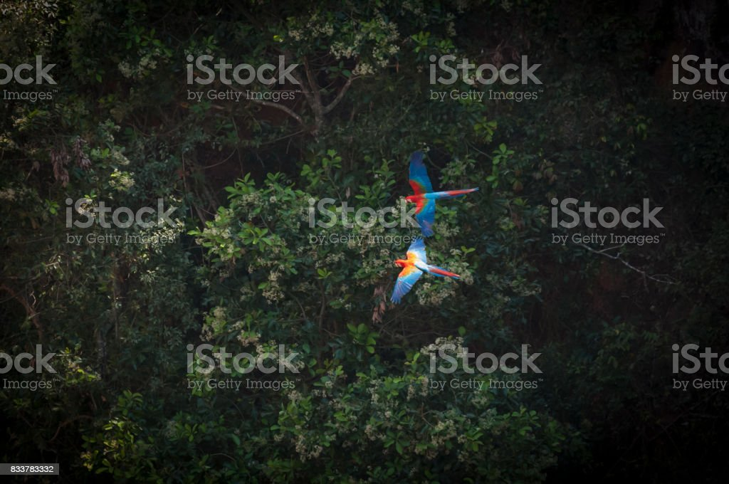 Green-winged macaw  (Ara chloropterus) stock photo