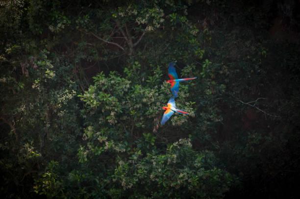 Green-winged macaw  (Ara chloropterus) stock photo