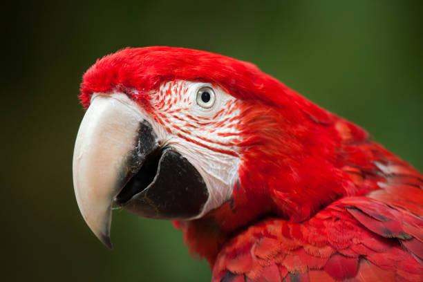 arara-de-asa-verde (ara chloropterus) - arara vermelha retrato - fotografias e filmes do acervo