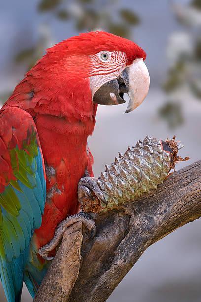 arara vermelha com pinheiros - arara vermelha retrato - fotografias e filmes do acervo