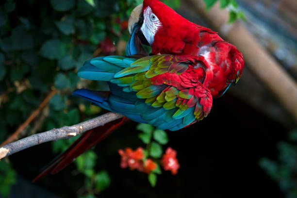Green-winged Parrot stock photo
