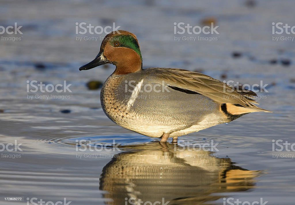 Green-winged Teal Duck - Male stock photo