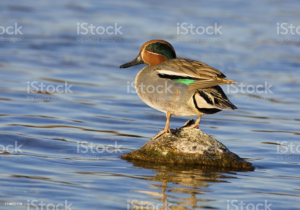 Green-winged Teal Duck stock photo