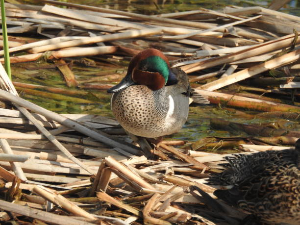 Green-winged Teal Duck with Vibrant Breeding Plumage stock photo