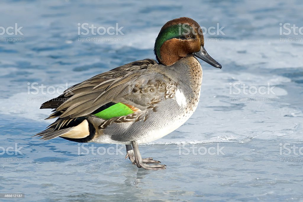 Green-winged Teal. stock photo
