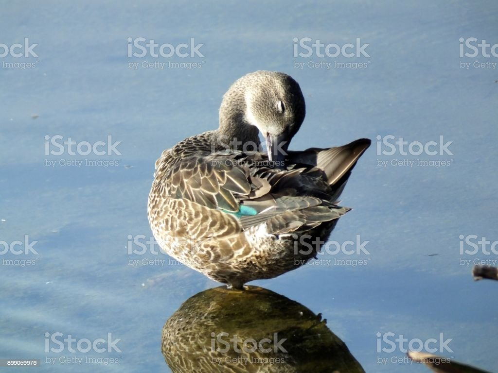Green-winged Teal (Anas crecca) stock photo