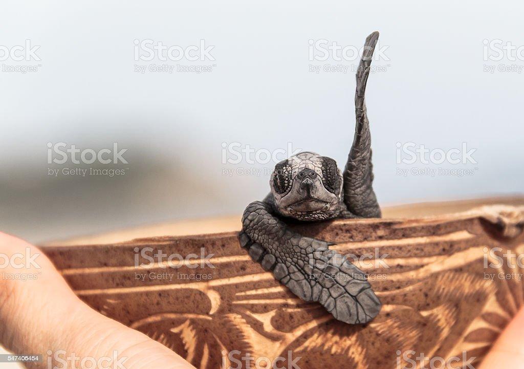 greeting baby turtle stock photo