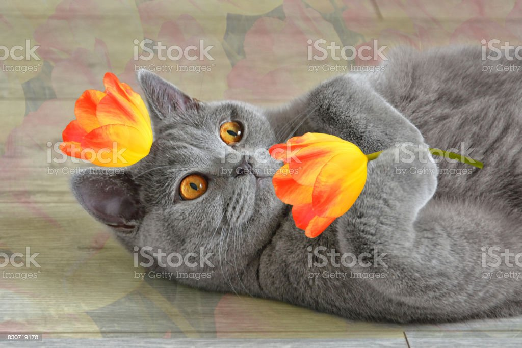Greeting card 'I love you', with a British cat that keeps yellow-red tulips. - foto stock