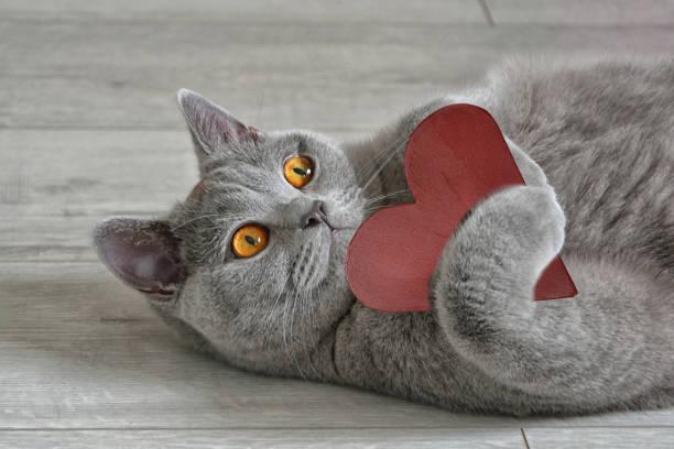 Greeting card with a british shorthair cat that holds a red heart picture id893021644?b=1&k=6&m=893021644&s=612x612&w=0&h=x7caknagwauxgkp0q1imqsrmi6ehyyzlcerypwkghzu=
