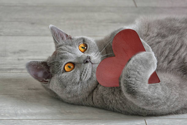Greeting card with a British short-hair cat that holds a red heart. Valentine's Day concept. Greeting card with a British short-hair cat that holds a red heart. Valentine's Day concept. animal valentine stock pictures, royalty-free photos & images