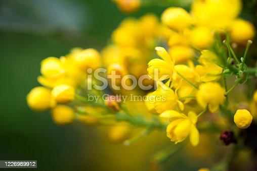 istock Greeting card with close up fresh aromatic Mahonia aquifolium flower against blurred background. 1226989912