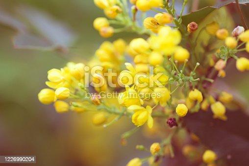 istock Greeting card with close up fresh aromatic Mahonia aquifolium flower against blurred background. 1226990204