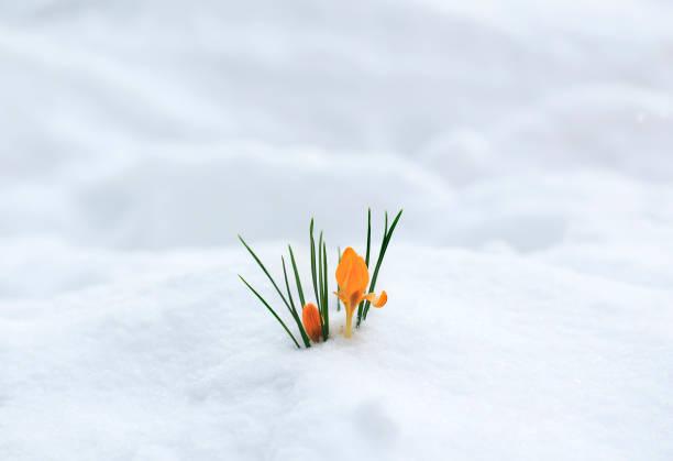 wenskaart met feestelijke helder gele bloemen snowdrop krokussen steeg in het begin van de lente in het park - knop plant stage stockfoto's en -beelden