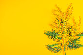 Greeting card with mimosa (Acacia dealbata, silver wattle, blue wattle), on yellow table surface, copy space for you text.