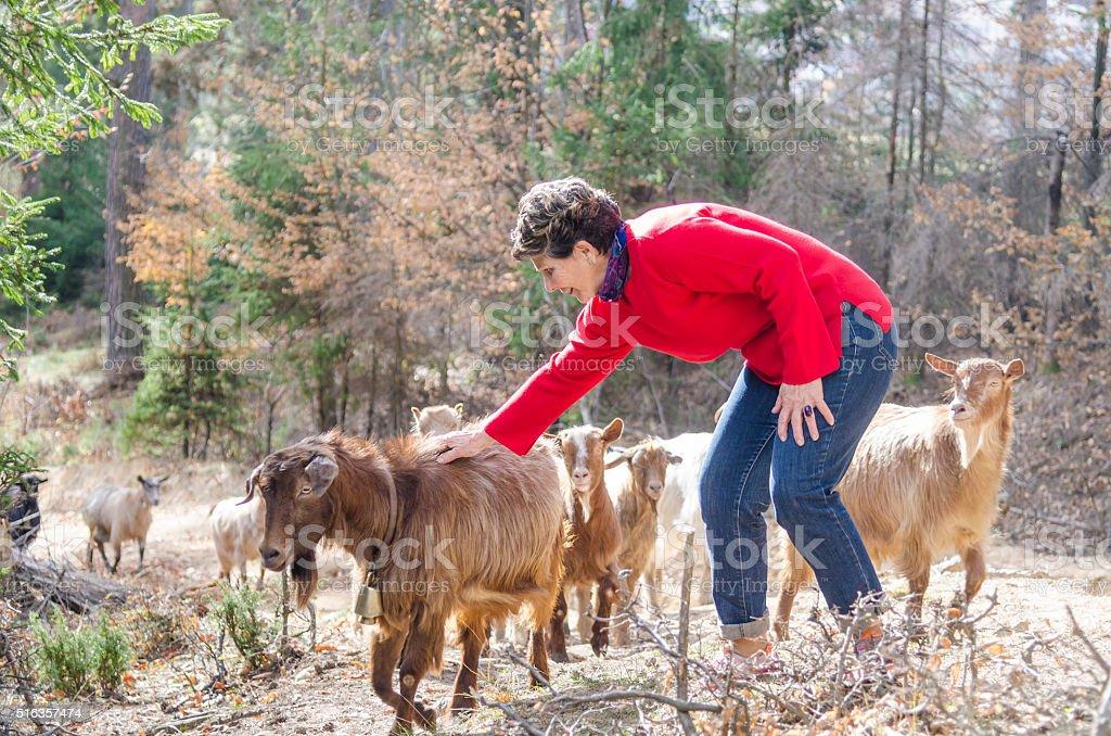 Greeting the Herd stock photo