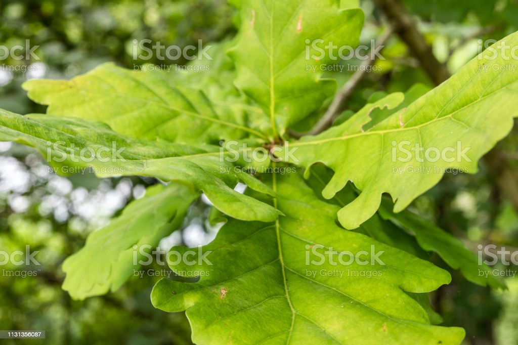 Oak leaves on a young oak. Photograph taken in June near Bernried,...