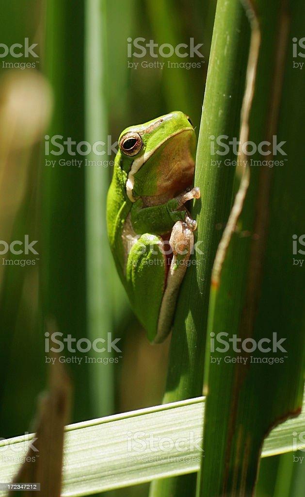 Gren Tree Frog stock photo